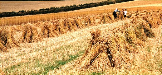 Stooks in a field. Picture courtesy of Gillian Nott.